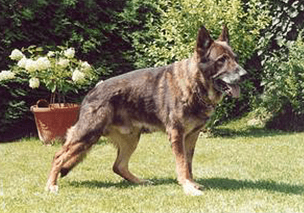 Trained Guard Dogs For Sale Uk