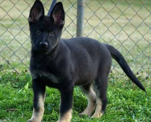 East German Working Line Puppies Ddr Guard Dogs