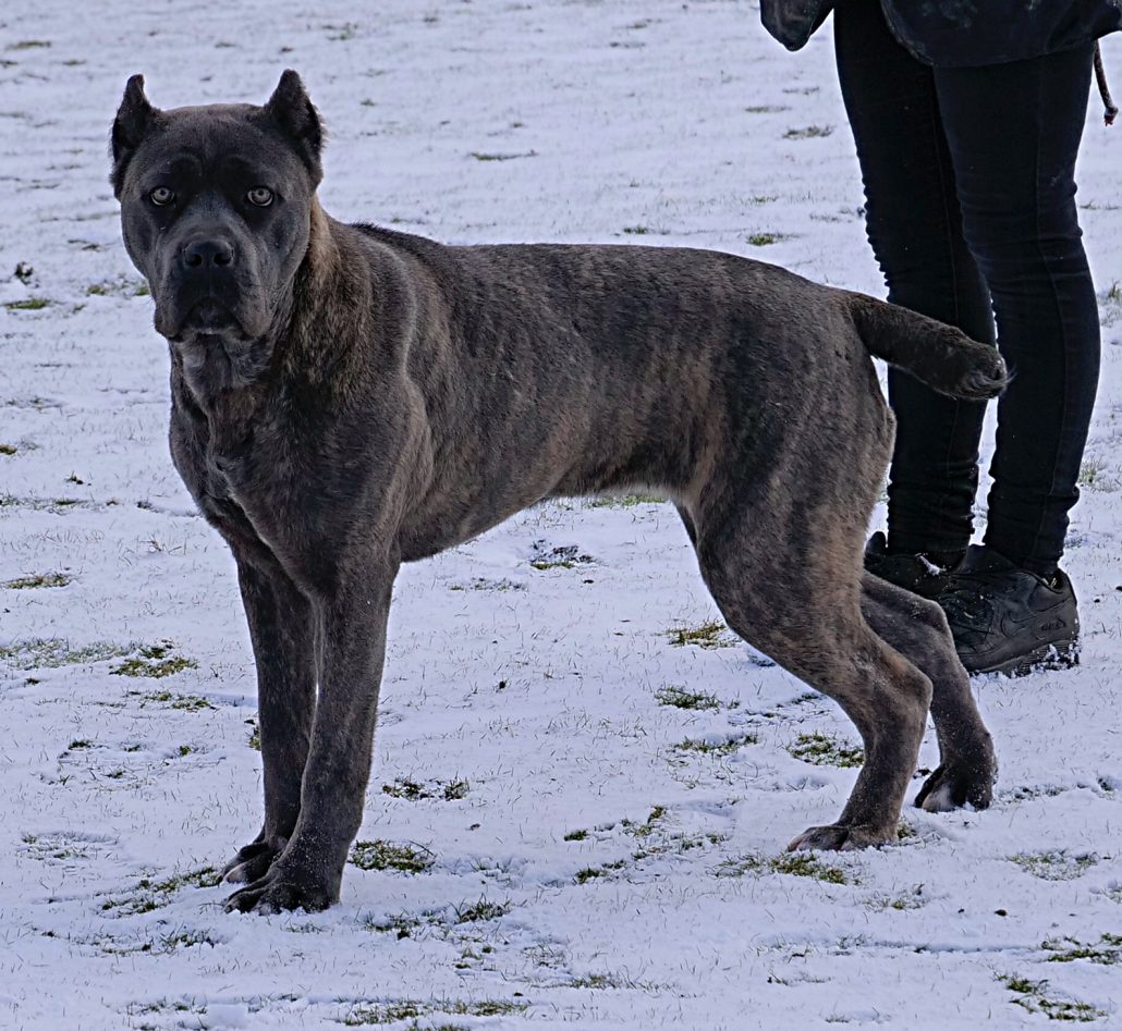 """Cane Corso Female """"Sasha"""" 10 Months Old – DDR Guard Dogs"""