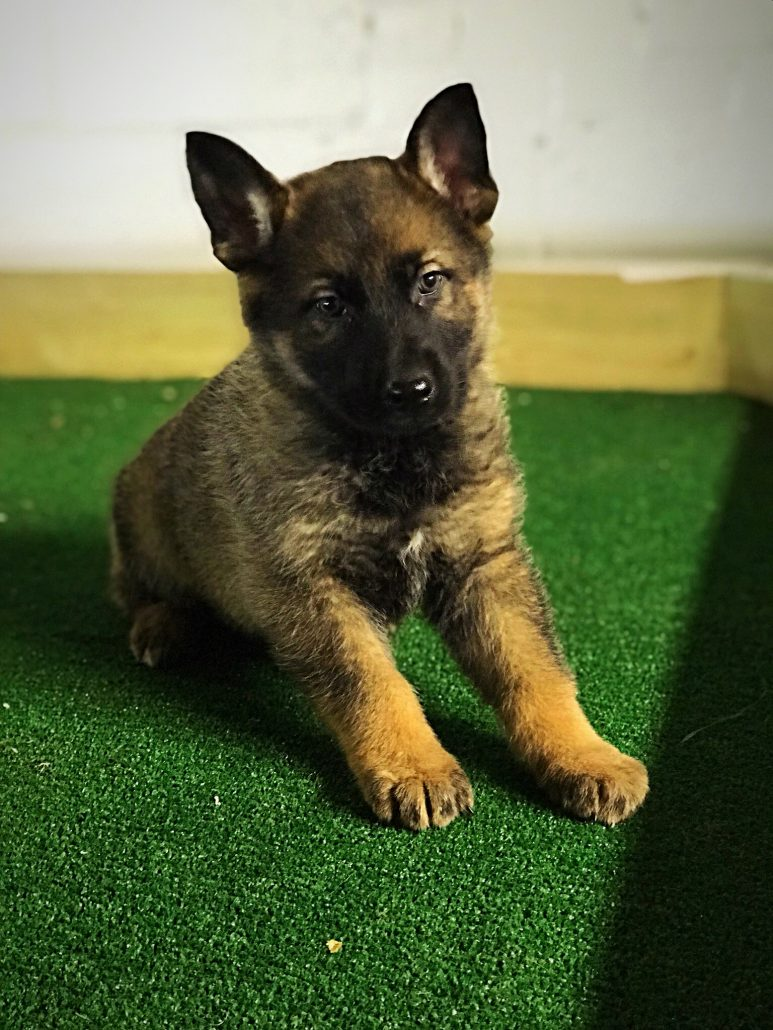 Sable East German Shepherd Puppies Ddr Guard Dogs