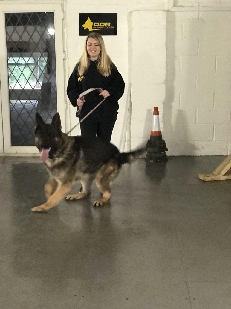 Bruno German Shepherd Male 14 Months Old Ddr Guard Dogs
