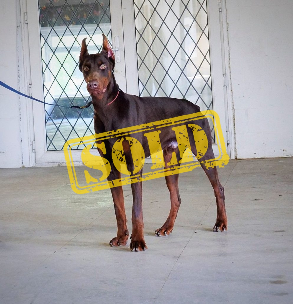 Red 17 Months Old Doberman Ddr Guard Dogs