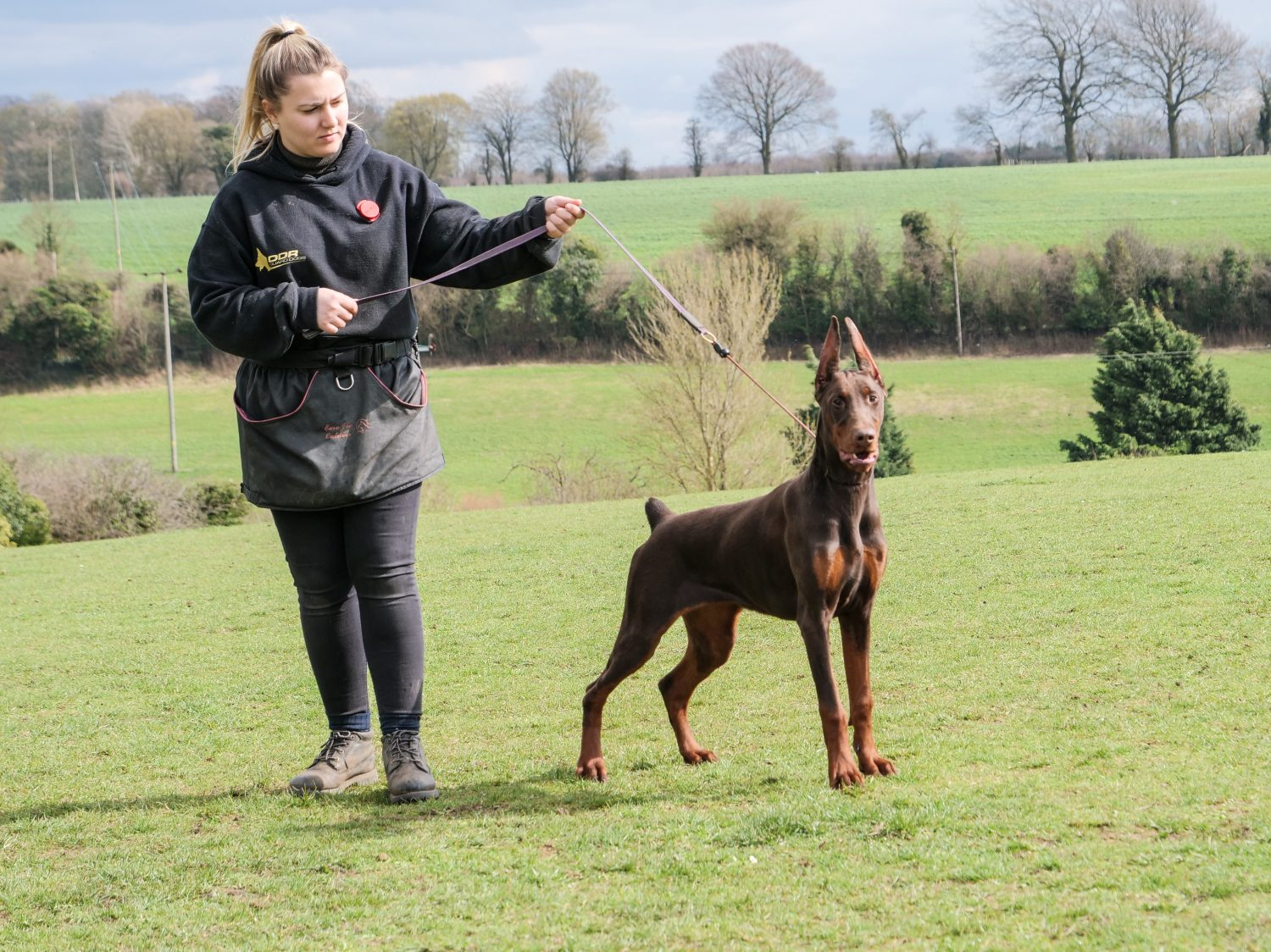 Penny Female Doberman 22 Months Old Ddr Guard Dogs