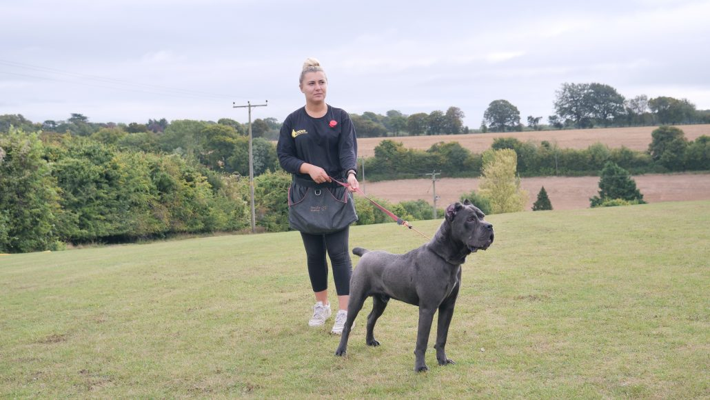 Morris// Male Cane Corso 10 Months Old – DDR Guard Dogs